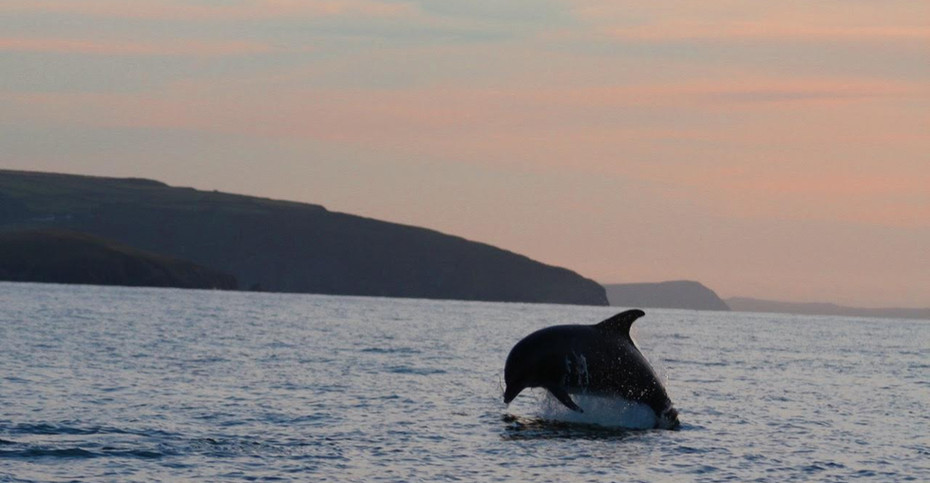 Bottlenose Dolphin, Cardigan Bay, Wales
