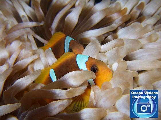 Clownfish copy.jpg