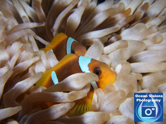 Resting Anemonefish