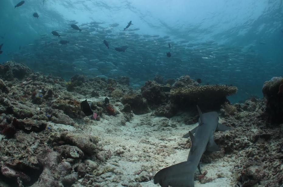 Reef Shark Hunting, Sipidan  Island, Malaysia