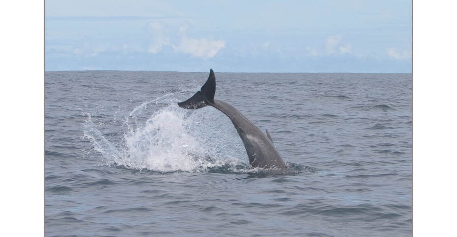 Spotted Dolphin, Costa Rica