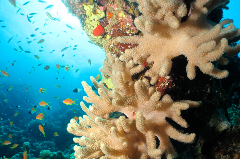 Hard Coral, Egypt