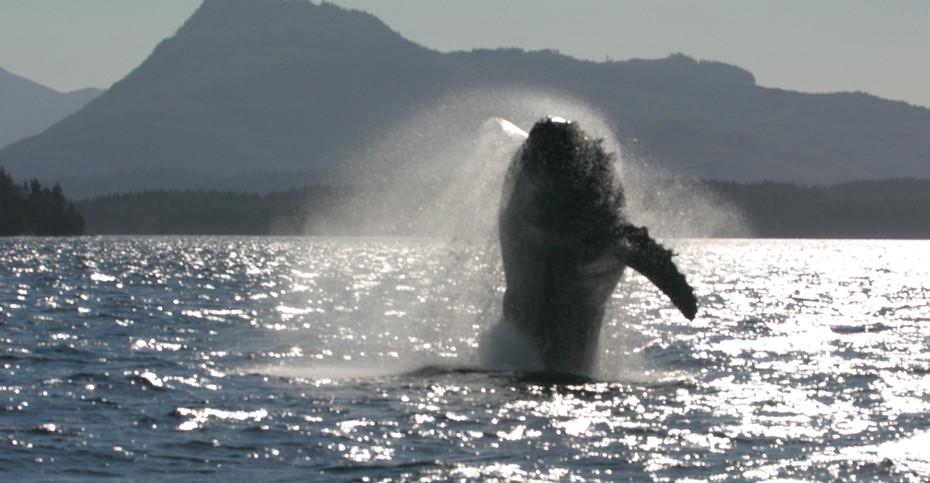 "Juvenile Humpback Whale ""Houdini"", Vancouver Island, Canada"