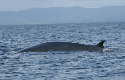Brydes Whale, Mexico
