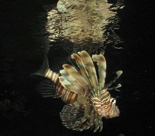 Lionfish Reflection