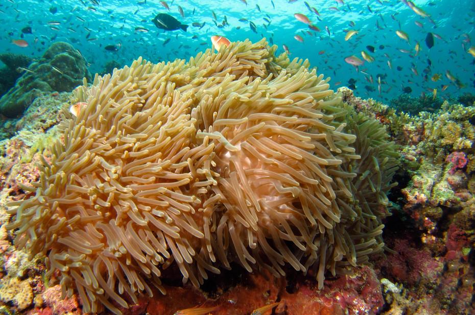 Anemonefish Reef Scene