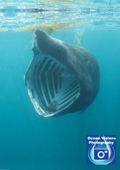 Basking Shark, Cornwall