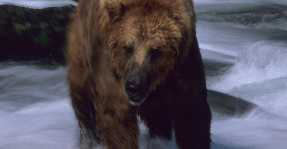 Grizzly Brown Bear, Alaska