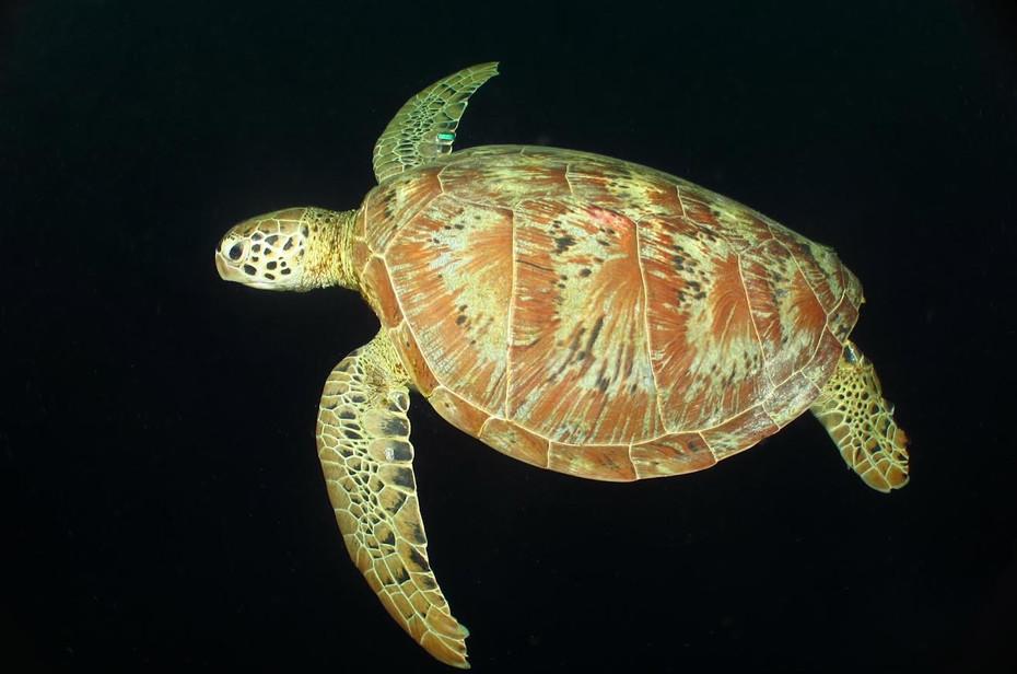 Green Turtle, Sipidan Island, Malaysia