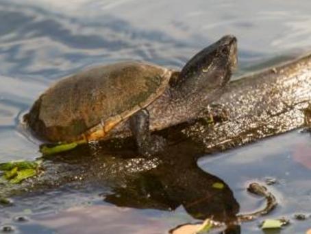 Turtles, Birches & Orioles