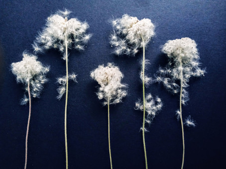 farewell anemones