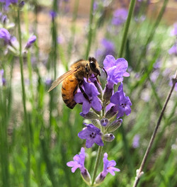 Bees love sage