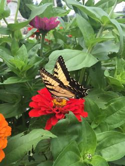 Monarchs on the farm