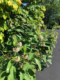 Bees just love milkweed