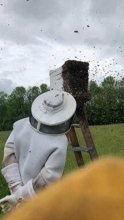 Beekeeper watching a swarm