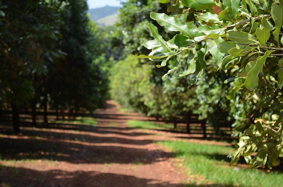 pomar de macadamia