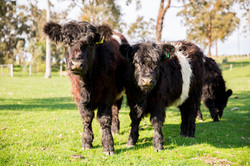 Young Steers