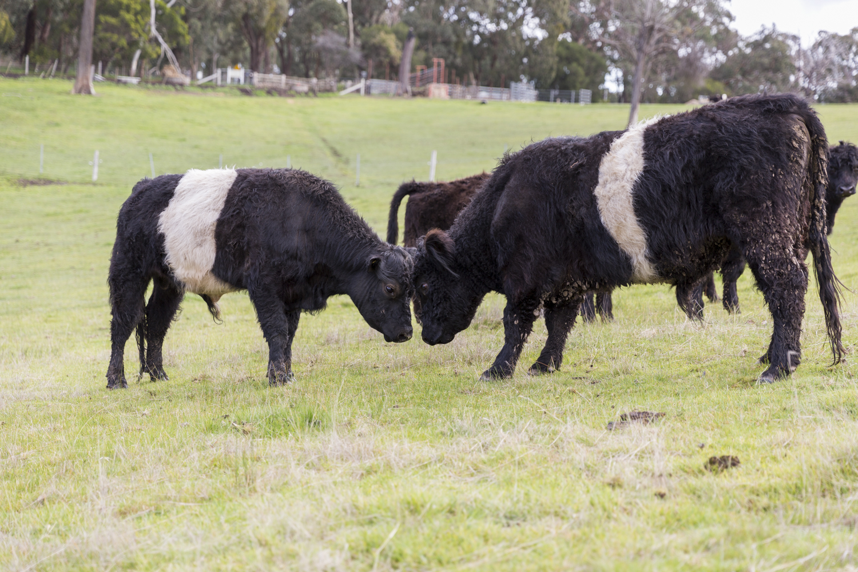 Bulls being bulls