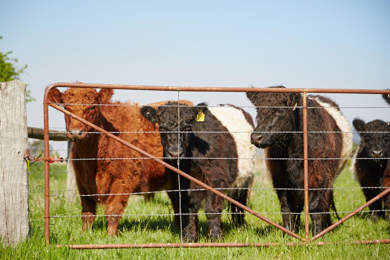 Warialda Steers