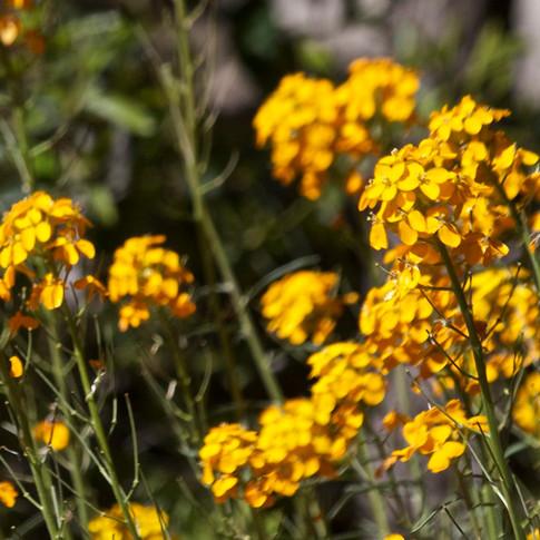cluster Wallflowers.jpg