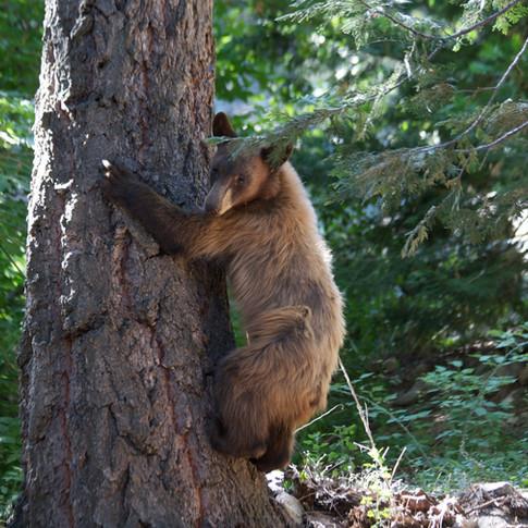 Clinging Bear IMG_0734.jpg