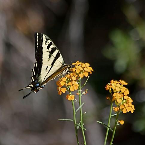 Butterfly, ZebraSwallowtail .jpg