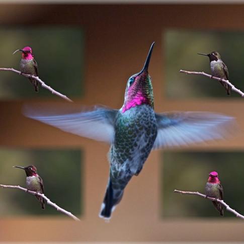 Anna's hummer collage 2.jpg