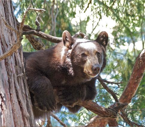 Bear perched in tree.jpg