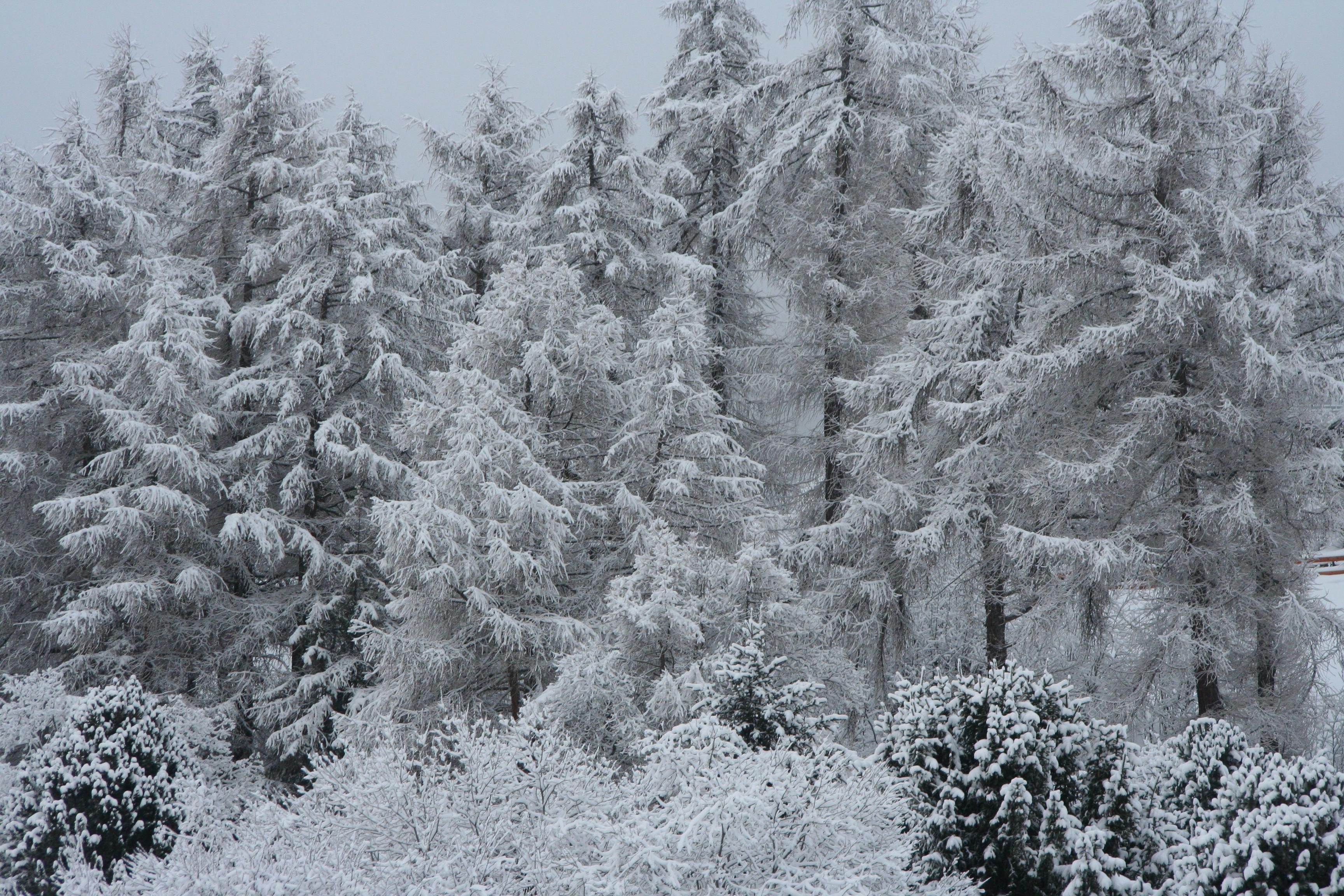 Snow on alpine trees, Nendaz
