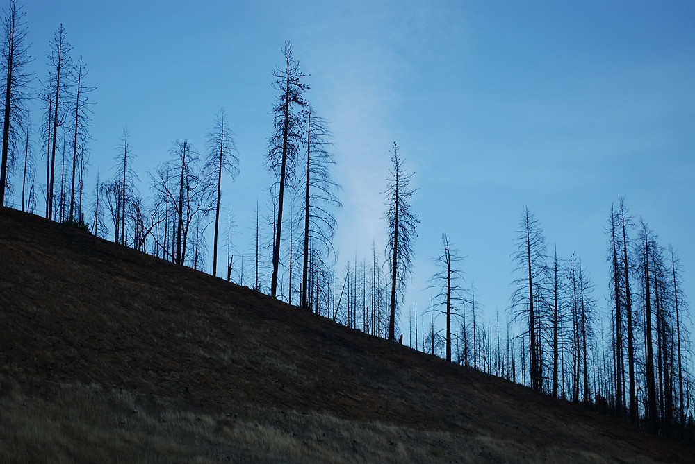 Blackened pine trees are all that remain on a mountainside after wildfires in northern California. Branches remain on the the tree trunks, but no green pine needles are left.