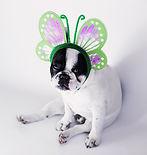Perro vestido como mariposa