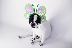 Hund gekleidet als Schmetterling