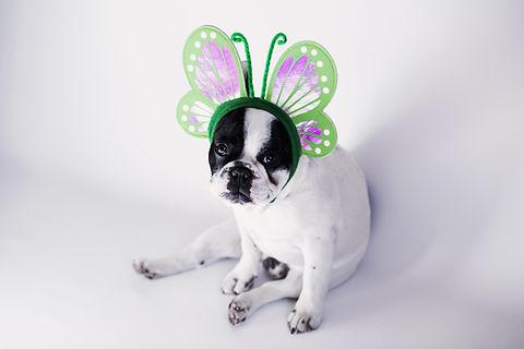 蝶のように服を着て犬