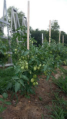 Stakes Vs Cages What Is Best To Support Tomatoes