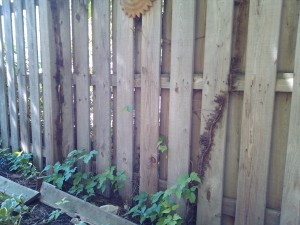 Pacocha - Poison Ivy Vine Attached to Wood Fence Growing Along Base
