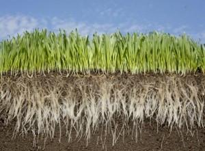Pacocha Turfgrass Root Zone