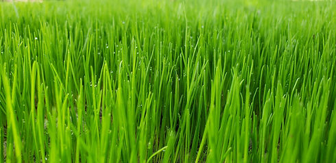 Pacocha - New Stand of Grass from Seed.jpg