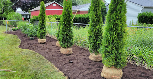 Multiple Arborvitae Planting - Pacocha Landscaping Services