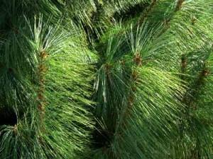 Pacocha - western yellow pine tree