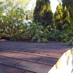 Pacocha - Poison Ivy Growing Atop the Roof of a Back Yard Shed (3 of 4)