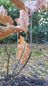 Fall transplanted oak tree sapling