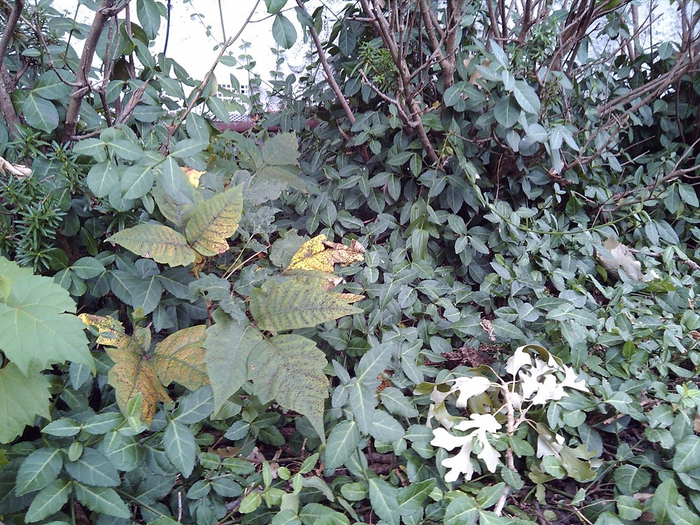 Poison Ivy growing within ground cover located across front of house