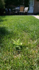 Pacocha - Thistle Growing in Lawn
