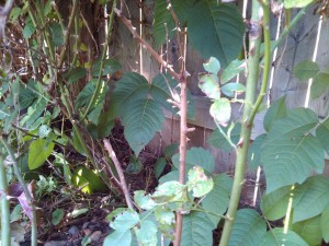 Pacocha - Poison Ivy Growing Alongside a Rose Bush in A Residential Back Yard