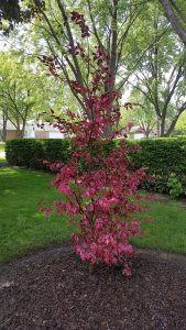 Pacocha - Tri Color Beech Tree