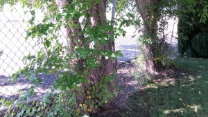 Pacocha - Mulberry Growing Along Base of Chainlink Fence