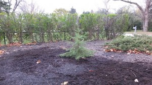 Pacocha - Northern Wisconsin Transplanted Spruce Tree