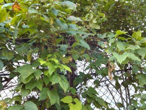 Pacocha - Poison Ivy with Berries Growing Along a Chain Link Fence