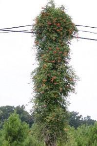 Trumpet vine utility pole