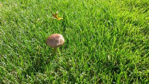 Pacocha - Mushroom Growing in Lawn